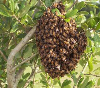 Weston Bee Swarm Removal